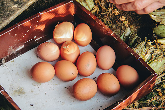 unseen-japan-collecting-eggs-in-the-morning-in-ochiai-village-higashimiyoshi-tokushima